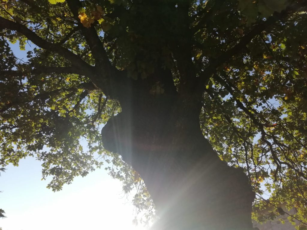 pianta quercia solstizio dinverno