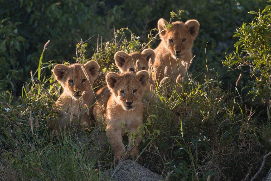 Safari fotografico leoni Tanzania